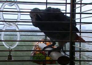 Baretta, de papegaai van Piet. Een luisteraar van de radioronde!